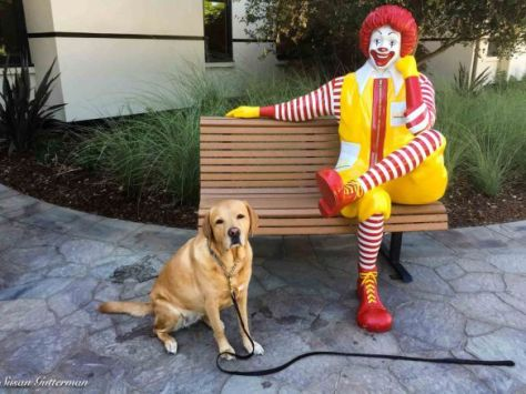 Gabby is a therapy dog at Ronald McDonald House