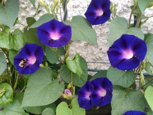 lucie-morning-glories-by-lucie-stastkova
