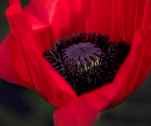 poppy-by-debby-gies