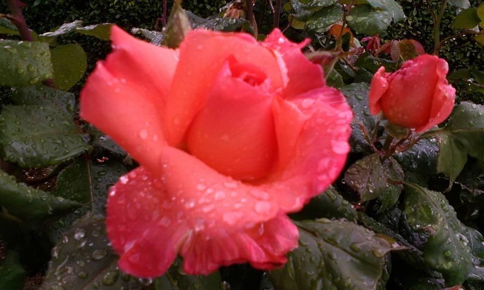 Rose by Lucie Stastkova