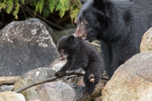 Bear Cub Piglet and Mum Playtime by Tofino Photography